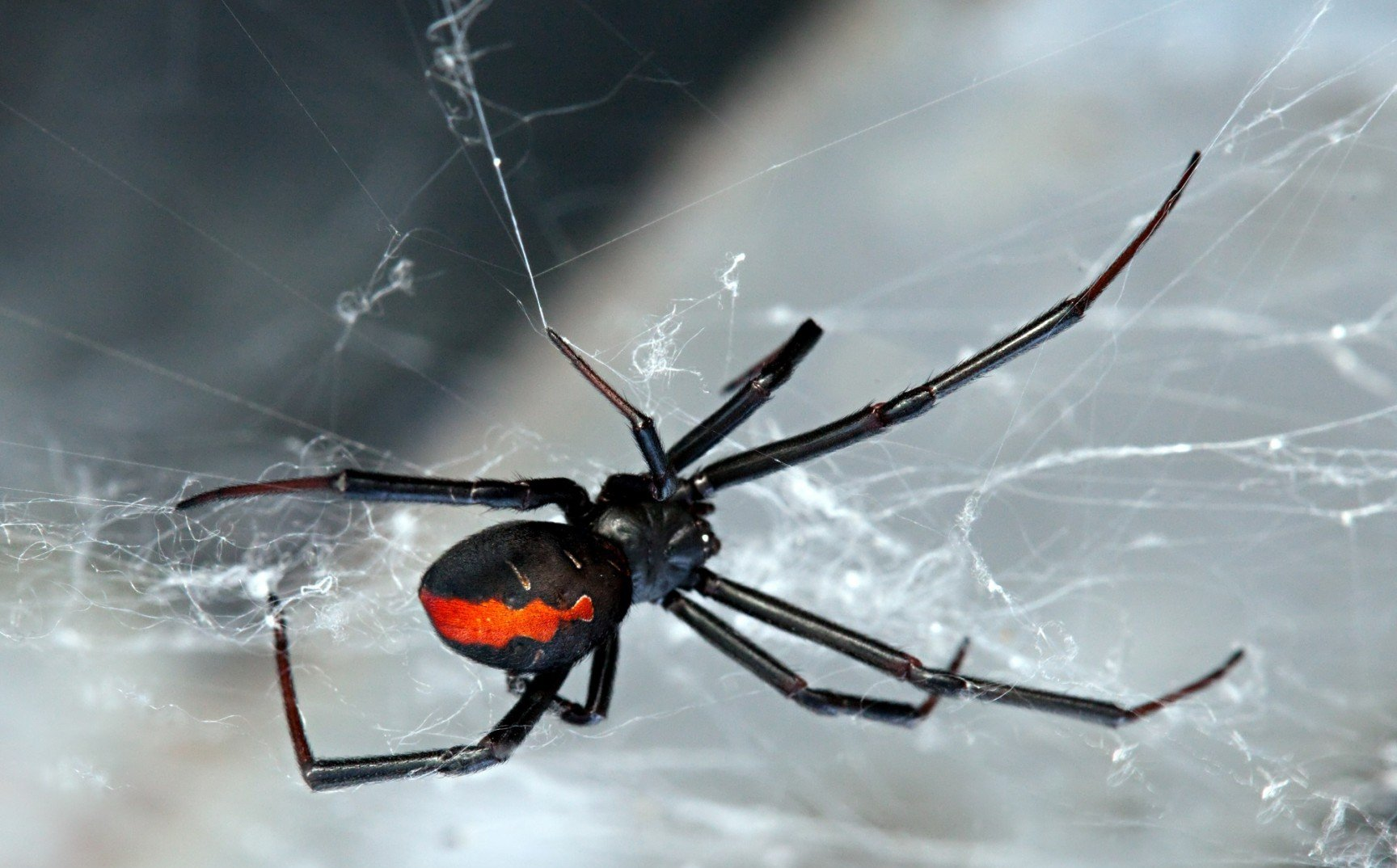 black-widow-spider-pictures-poisonous-northeast-nude-malayali-indian-girls